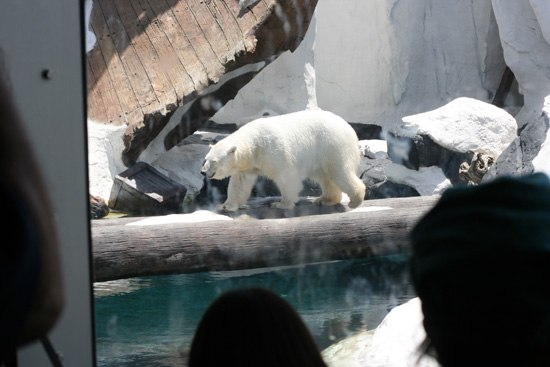 Polar bear at Sea World San Diego